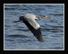 Flight (forbesimages) Tags: bird heron nature water canon grey scotland fife wildlife flight guardbridge barryforbes forbesimages
