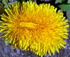 A Double Headed Dandelion ! (Church Mouse 07) Tags: uk flower macro nature yellow lumix spring weed panasonic april british 2010 inmygarden dmcfz28 churchmouse07 doubleheadeddandelion