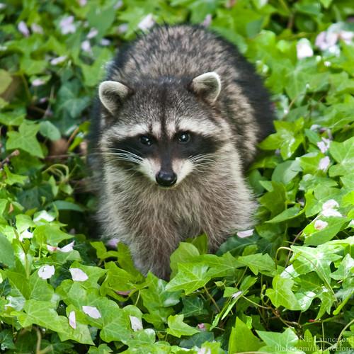 Raccoon #4