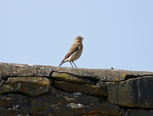 12277 - Wheatear at Burry Port