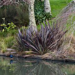 Pukeko (russellstreet) Tags: newzealand bird auckland nzl pukeko aucklandregion aucklandbotanicalgardens manakaucity
