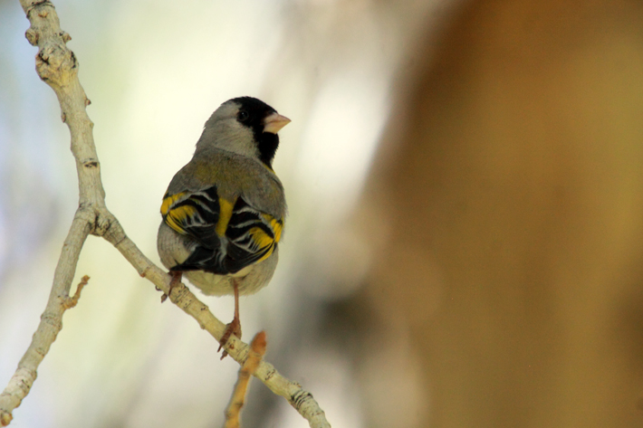 041410_LawrencesGoldfinch