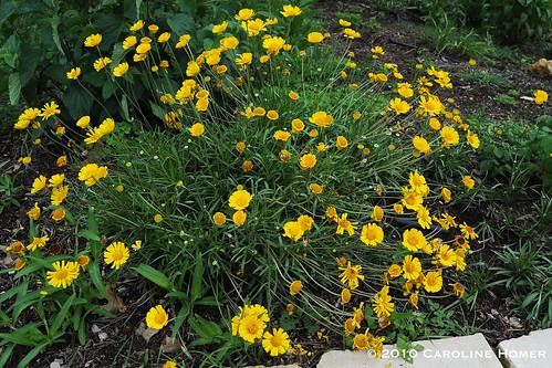 Four-nerve daisy