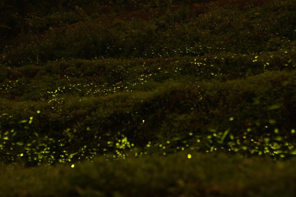 20100419 內灣螢火蟲