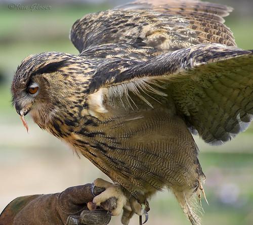 Eagle owl Eating