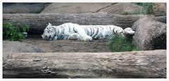 Panthera tigris (AnkhaiStenn) Tags: wild white mountain black animal zoo russia moscow tiger russian portret bengal tigris panthera