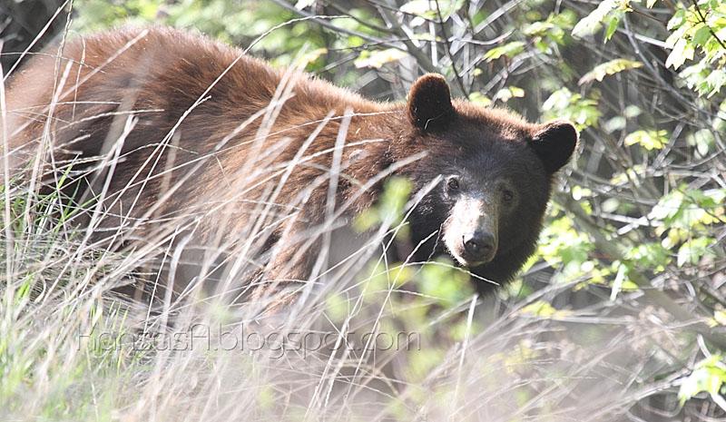 Mama Bear (by KansasA)