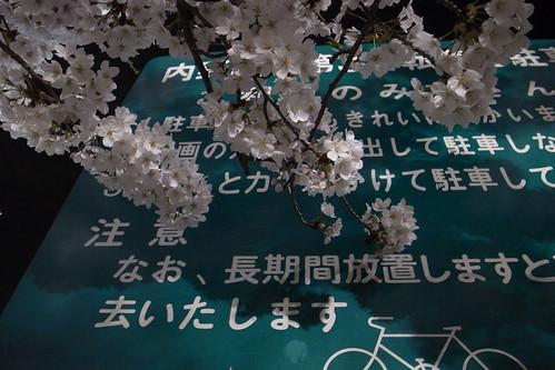 内野の桜 2010