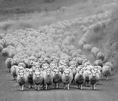 Sie Kommen (Ian@NZFlickr) Tags: road bravo sheep nz otago aotearoa italians oncoming flickrsbest thelittledoglaughed holidaysvacanzeurlaub infinestyle mahinerangi updatecollection imagicland highqualityanimals