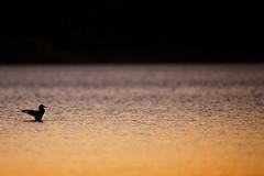 Colores de verano (zetas) Tags: naturaleza color digital atardecer agua nikon colores pato animales ocaso dique dorado colorido zetas cruzdeleje d700 zetasphoto