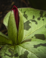 Trillium 15 (John C. House) Tags: flowers closeup trillium spring nikon tennessee wildflower naturelovers d80 estremit dofstacking wonderfulworldofflowers johnchouse
