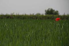 Lonely Poppy (valentinastorti) Tags: field wheat poppy campo grano papavero