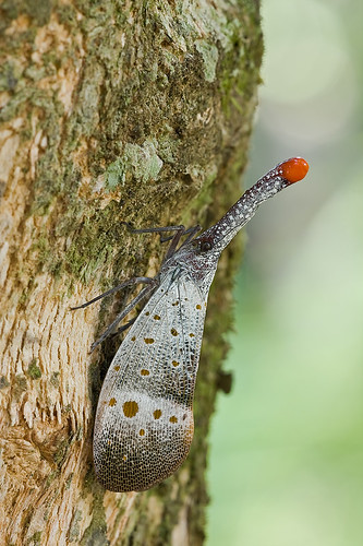 Lantern bug from Endau Rompin - Rudolph the red nosed bug!