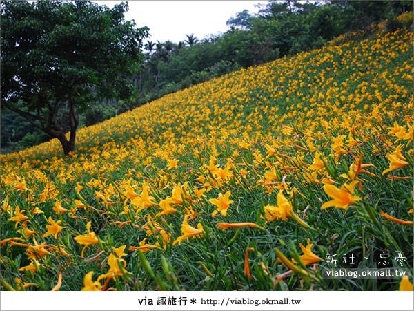 【台中休閒農場】2010金針花~新社沐心泉金針花5