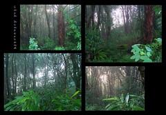 lush hinterland... (YAZMDG (15,000 images)) Tags: morning plants mist green nature forest ginger moss australia nsw lichen passiflora lush ferns yaz hinterland northernrivers rainbowregion goonengerry yazminamicheledegaye yazmdg
