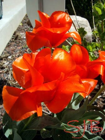 MORE TULIPS 7