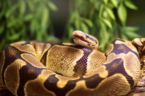 Laughing Snake ;-)