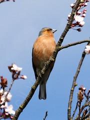 Male Chaffinch (Lynne Dymond) Tags: uk wild england male bird nature birds branch britain wildlife bluesky twig british sos fringillacoelebs chaffinch chaffinches lttf