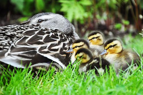 フリー写真素材, 動物, 鳥類, カモ科, 鴨・カモ, 家族・親子(動物), 雛・ヒナ,