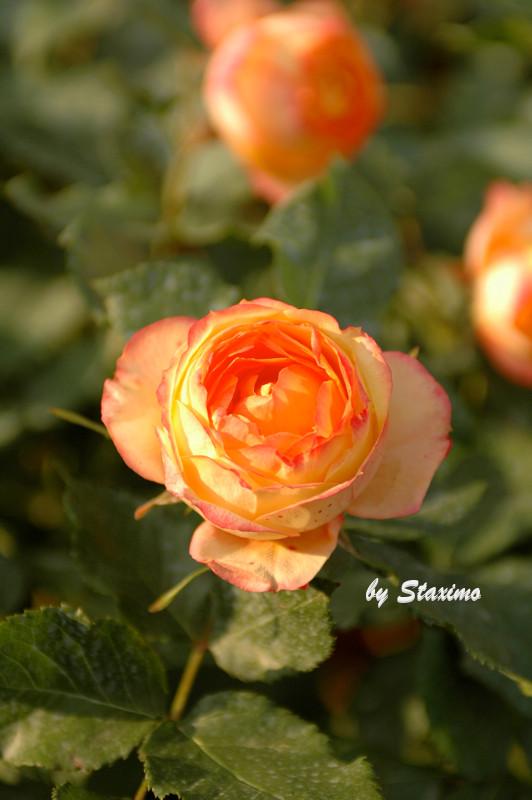 La rosellina meillandina