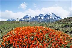 60020028 (wolfgangkaehler) Tags: chile flowers red orange patagonia mountain mountains flower southamerica landscape landscapes nationalpark flora scenic torresdelpaine nationalparks scenics torresdelpainechile neneo painemountains anathrophillumdesideratum