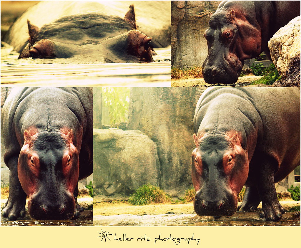 BG_Hippo Collage_Tagged