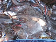 arrastre02 (Tiburones Chile) Tags: conoce pesquerias especieamenazada