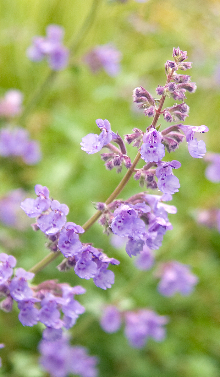 catmint2