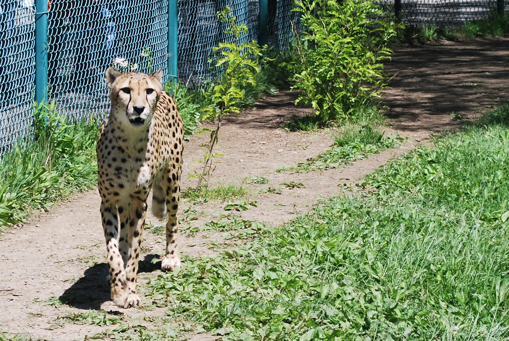 Zoo Cheetah