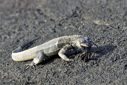 Lava Lizard (Tropidurus) Eating Crab