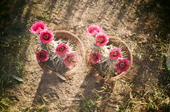 double cactus (EllenJo) Tags: pink arizona cactus flower home yard 35mm doubleexposure az double clone argusc3 springtime argus doublevision verdevalley clarkdale inbloom vintage35mm ellenjo argusrangefinder ellenjoroberts springtimeinarizona