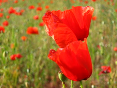 scarlet beauty (Mi Piaci Silenziosa) Tags: flowers red wild italy flower nature field scarlet countryside country poppy poppies campo wildflowers fiori fiore rosso puglia papaver papaveri selvatico apulia papavero