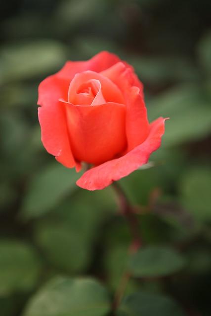 開花直前の花弁