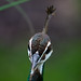 Indian Peafowl Head