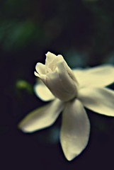 flower macro yard gardenia