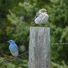Mountain Bluebird pair (annkelliott) Tags: blue trees wild canada male bird nature beautiful birds fauna female digital square lumix photo adult image bokeh wildlife pair alberta barbedwire pointandshoot migratory perched bluebird ornithology squarecrop avian fencepost perching naturesfinest mountainbluebird colorimage feelsgood beautyinnature sialiacurrucoides southernalberta beautifulexpression annkelliott southwestofcalgary birdshare fz35 panasonicdmcfz35 birdsofcalgary length15–20cm6–8in p1030468fz35