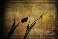 """"""" Happiness is a perfume you cannot pour on others...without getting a few drops on Yourself """" ralph waldo emerson (1803-1882) (Podge Kelly) Tags: light shadow green art yellow nikon artistic textures tulip imagination kelly impression d3 podge artscape flypaper oureyes artlife artexpression flickrawards nikond3 lesbrume podgekelly arttex flypapretextures texturedbackround"""
