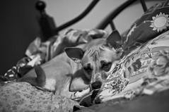My Helper (michaeljosh) Tags: dog sushi nikkor50mmf14d project365 myhelper nikond90 michaeljosh