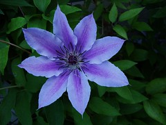 """""""Evening Opening"""" (Dave's Foto Book) Tags: flower clematis"""