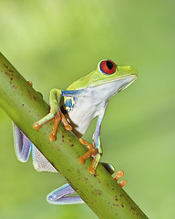 Red Eye (Alfredo11) Tags: naturaleza nature animal bravo frog redeye rana ojosrojos specanimal colorphotoaward theunforgettablepictures