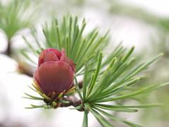 Tamarack Flower (grenvilleprovince) Tags: ontario canada ottawa larix larixlaricina merbleue merbleuebog laricina