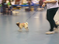 Pugfest 005 (cwisty5) Tags: pug milwaukee fest