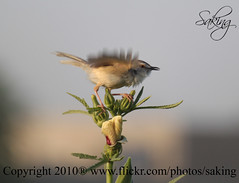 Moving (Saking--Little Busy) Tags: bird nature saqib saking mywinners concordians kingloi stealthkingdom stunningwisdom