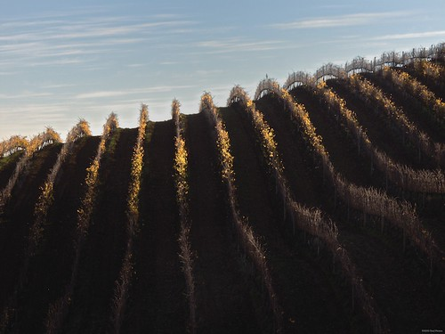 Autumn sun on Tokara's vines