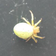 Green Orb Spider (Araniella cucurbitina)