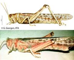 Healthy and Metarhizium anisopliae var. acridum-infested desert locust (IITA Image Library) Tags: locusts pestcontrol insectpests biologicalcontrol metarhizium