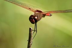 Dragon Fly Close Up (stan_dea) Tags: nature insect dragonfly sony australia a700 closetonature kartpostal beautifulmonsters