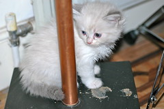 DSC_0327 (RuthieGledhill) Tags: kittens ruth ragdoll gledhill ruthiegledhill ruthiefranks