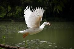 (marta.zollino) Tags: parco moving ali volo movimento acqua bianco pescara cigno piume flickraward