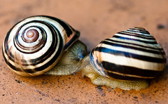 Bisous d'escargot ^^ (cmaur-the-father-chrismas) Tags: orange eye spiral shell snail kisses hermaphrodite escargot larva spirale slobber coquille il bave carapace larve bisous